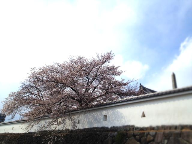 sakuraosiro.JPG
